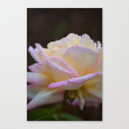 Rose 323 Canvas Print