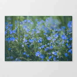 blue flowers. Germander Speedwell. Canvas Print
