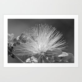 Calliandra Flower Art Print