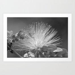 Calliandra Flower Art Print