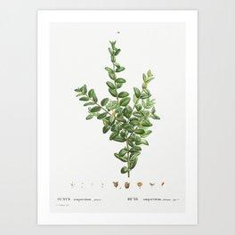 Buxus sempervirens fruticosa from Traité des Arbres et Arbustes que l'on cultive en France en pleine Art Print