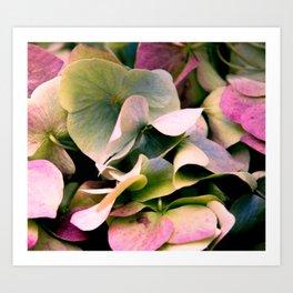 pink and green hydrangea Art Print
