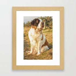 St Bernard dog in the sunset Framed Art Print