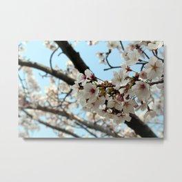 Jinhae Cherry Blossoms Metal Print