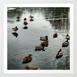 Mallard Ducks Enjoy a Partially Ice Covered Pond Art Print