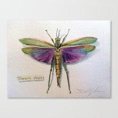 Titanacris albipes Canvas Print
