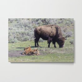 Family of Bison Metal Print