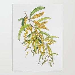 Australian Wattle Flower, Illustration Poster