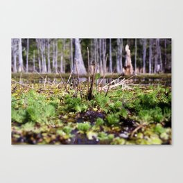 Alligator's Point of View Canvas Print