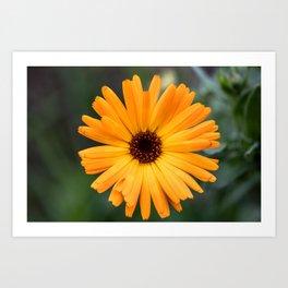 Orange marigold closeup Art Print