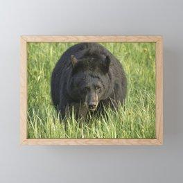Black Bear Eating Grass in Yellowstone Framed Mini Art Print