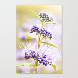 Russian Sage Canvas Print