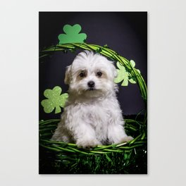 Fluffy White Maltese Puppy Standing in a Green St. Patrick's Day Basket with Shamrocks Canvas Print