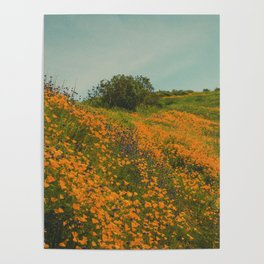 California Poppies 015 Poster