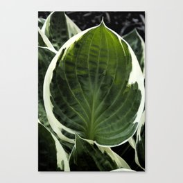Hosta Leaf With Water Drop Canvas Print
