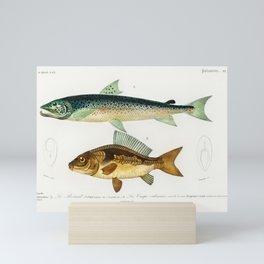 Salmon & Carpe by Charles Dessalines D' Orbigny Mini Art Print