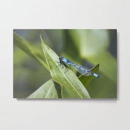 Blue Damsels Fly Too Metal Print