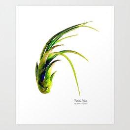 Tillandsia Paucifolia Air Plant Watercolors Art Print