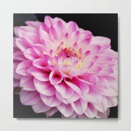 Close up pink dahlia Metal Print