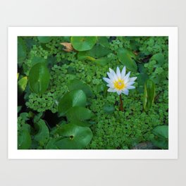 Nymphaea Nouchali Lily Pad Flower in Spring Art Print