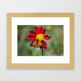Monarch Butterfly on Red Flower Framed Art Print