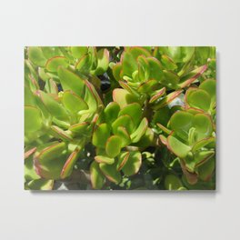 Jade Plant Metal Print
