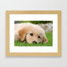 Golden Retriever puppy, cute dog Framed Art Print