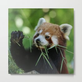 Red_Panda_20150704_by_JAMFoto Metal Print