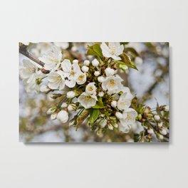Spring - Cherry Blossom No. 1 Metal Print