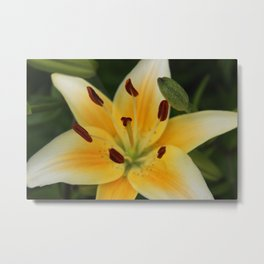 Asiatic Yellow Lily Metal Print