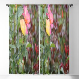 The multicolored roses blooms in the summer arboretum  Blackout Curtain
