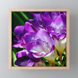 Royal Purple - The Prince Of Freesias Framed Mini Art Print