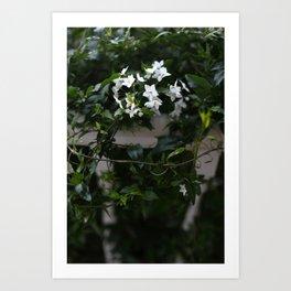 Christmas Jasmine Art Print