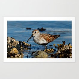 Bird on the Beach / A Solitary Dunlin Art Print