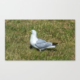 Seagull in the grass Canvas Print