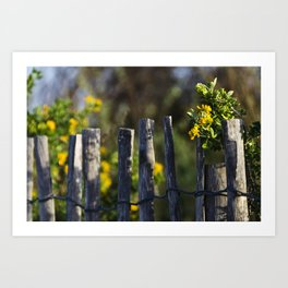 Yellow flower and wood fence Art Print