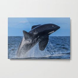 Orca Male Breach Metal Print