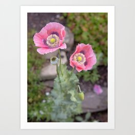 Two Pink Poppies Art Print