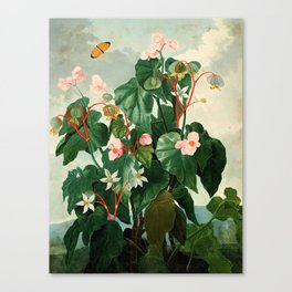 Pink Floral The Oblique-Leaved Begonias : Temple of Flora Canvas Print