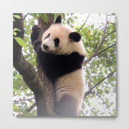 Chongqing Baby Giant Panda | Bébé Panda géant Metal Print