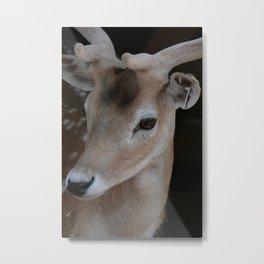 Young deer, portrait Metal Print