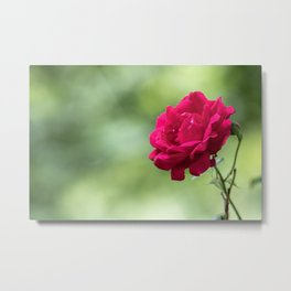 Wild red rose on green blurry background Metal Print
