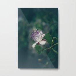 Caper flower Metal Print