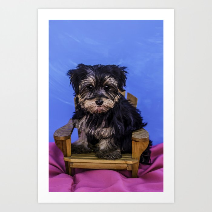 Yorkshire Terrier Puppy Sitting In A Mini Wood Patio Chair On A Pink