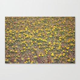 Safflower Field Canvas Print