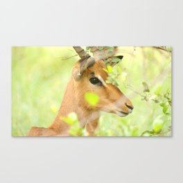 Young impala ram Canvas Print