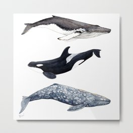 Orca, humpback and grey whales Metal Print