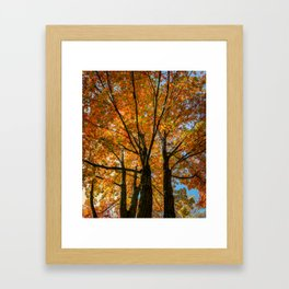 Colorful Maple of New England. Framed Art Print