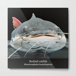 Redtail catfish Metal Print
