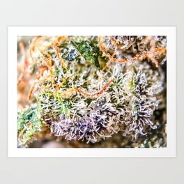 Diamond OG Indoor Hydroponic Close Up View Buds Trichomes Art Print